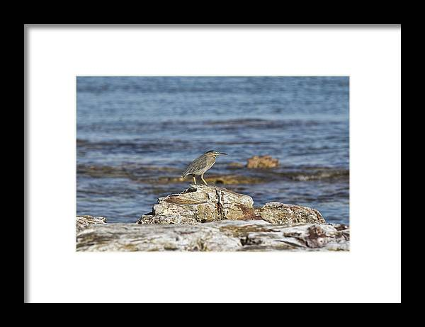 Pied Heron Framed Print featuring the photograph Top Spot by Douglas Barnard