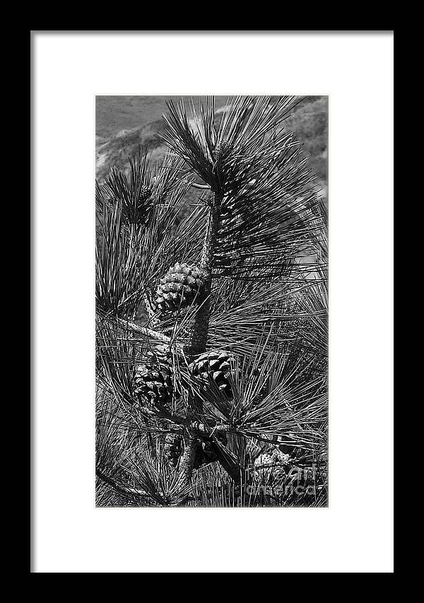 Pinus Framed Print featuring the photograph Torrey Pine Cones In Black And White by Charles Robinson