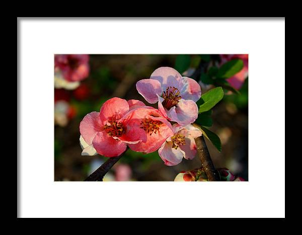 Quince Framed Print featuring the photograph Toyo Nishiki Quince by Kathryn Meyer