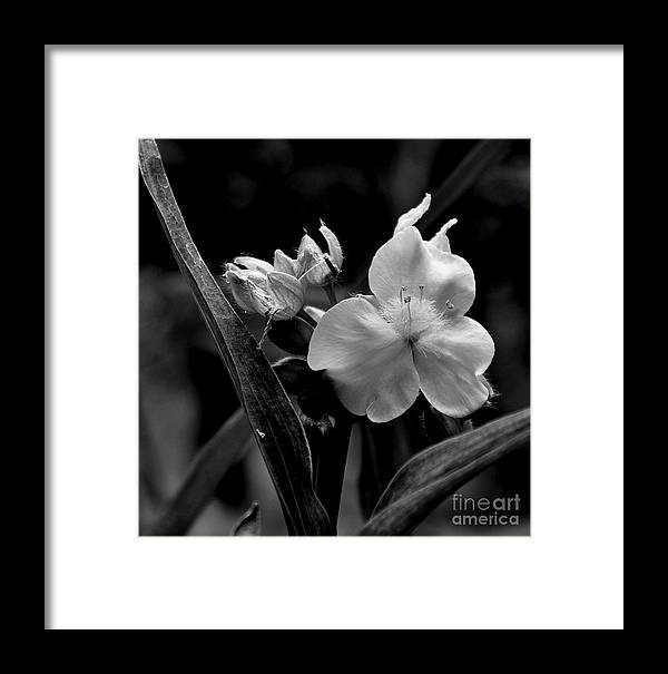 Nature Framed Print featuring the photograph Tradescantia 2 by Tanya Searcy