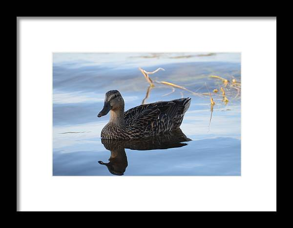 Mallard Framed Print featuring the photograph Tranquil Paddle by Michael Carrothers