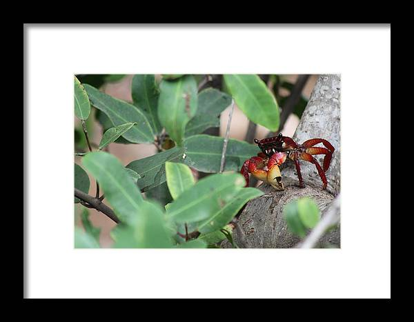Crab In Mangrove Tree Framed Print featuring the photograph Tree Climber by Scott McIntyre