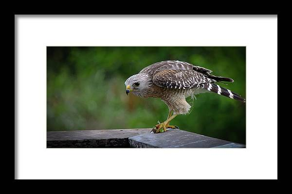 Red Shouldered Hawk Framed Print featuring the photograph Tree Frog For Breakfast by Bill Martin
