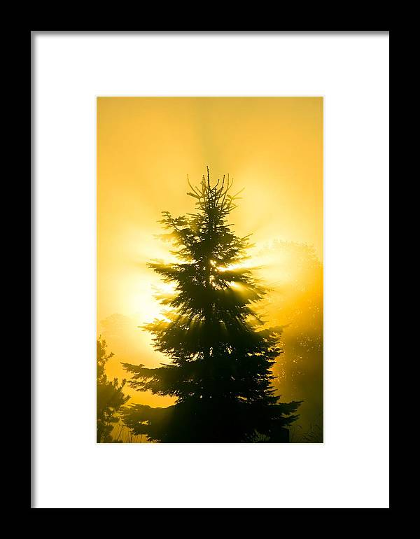 Picea Sp. Framed Print featuring the photograph Trees In Fog At Sunrise by David Nunuk
