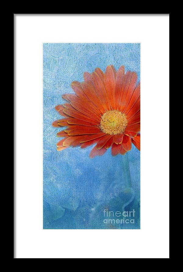 Triptych Framed Print featuring the photograph Triptych Gerbera Daisy-one by Betty LaRue