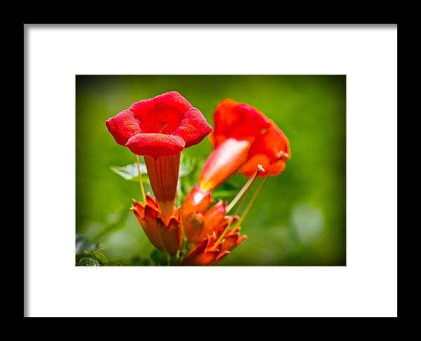 Trumpet Blossoms Framed Print featuring the photograph Trumpet Blossoms by Barry Jones