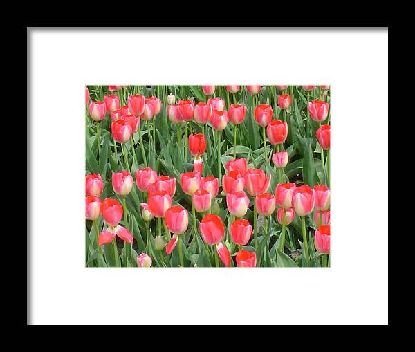 Tulips Framed Print featuring the photograph Tulips by Michael Merry
