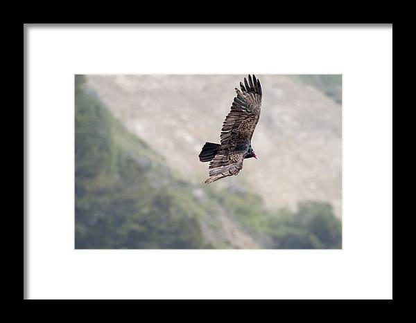California Framed Print featuring the photograph Turkey Vulture by Gregory Scott