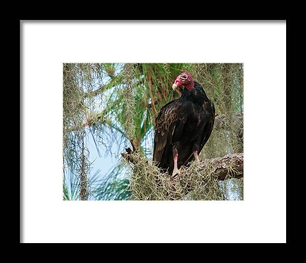 7430 Framed Print featuring the photograph Turkey Vulture by Marx Broszio