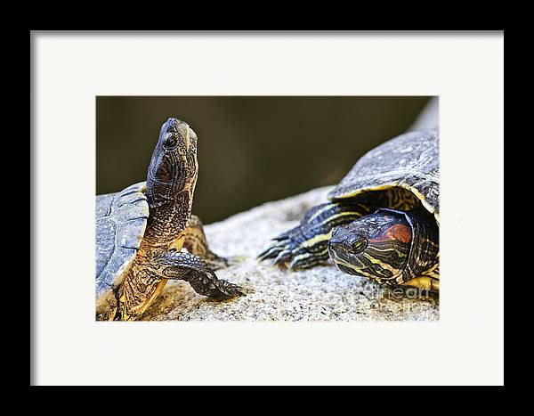 Turtles Framed Print featuring the photograph Turtle Conversation by Elena Elisseeva