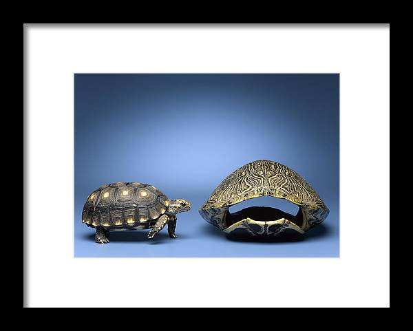 Horizontal Framed Print featuring the photograph Turtle Looking At Larger, Empty Shell by Jeffrey Hamilton