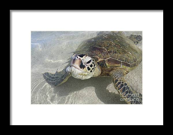 Turtles Framed Print featuring the photograph Turtle Love by Lori Whalen