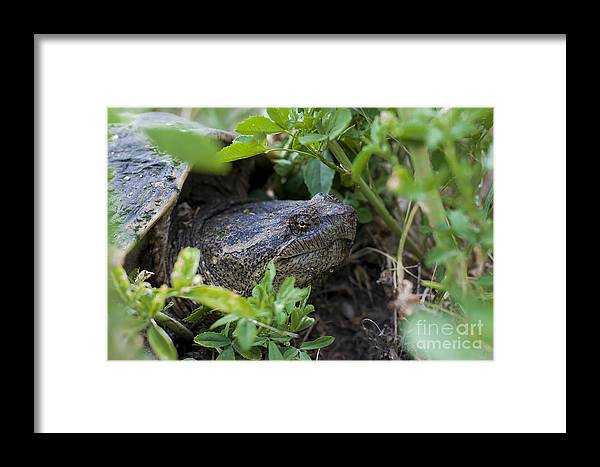 Turtle Framed Print featuring the photograph Turtle Mom Maman Tortue by Nicole Cloutier Photographie Evolution Photography
