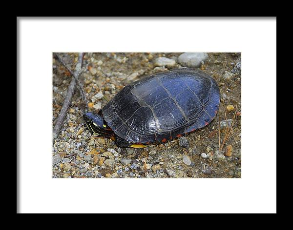 Turtle Framed Print featuring the photograph Turtle Season by Christine Tuck