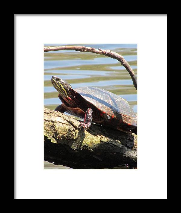 Turtle Framed Print featuring the photograph Turtle by Todd Sherlock