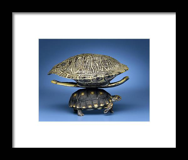 Horizontal Framed Print featuring the photograph Turtle With Larger Shell On Back by Jeffrey Hamilton