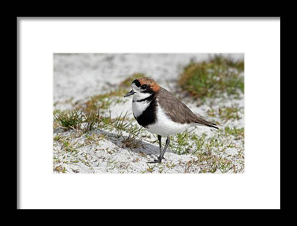 Flpa Framed Print featuring the photograph Two-banded Plover Charadrius by Martin Withers