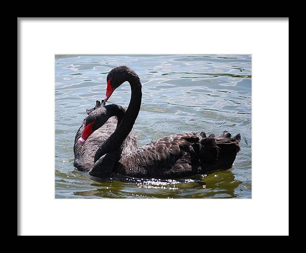 Black Swan Framed Print featuring the photograph Two Black Swans by Carrie Munoz