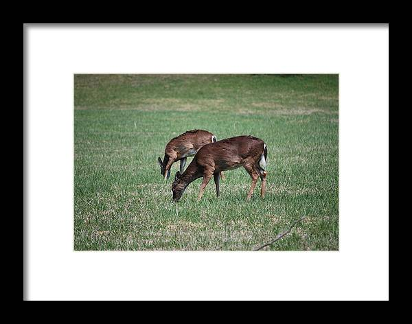 Deer Framed Print featuring the photograph Two Does Grazing by Carrie Munoz