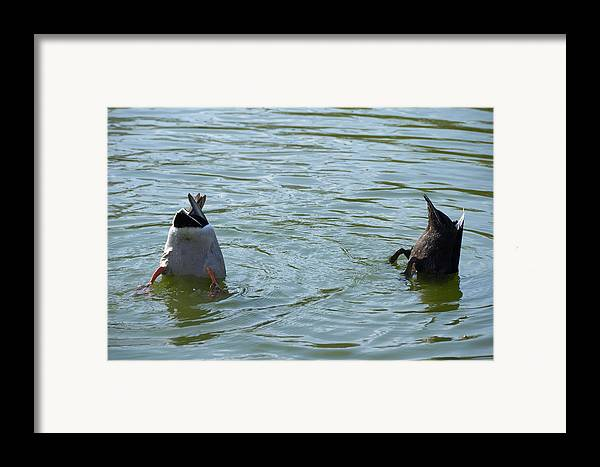 Ducks Framed Print featuring the photograph Two Ducks Diving by Matthias Hauser