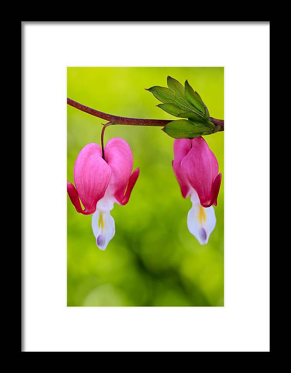 Flowers Framed Print featuring the photograph Two Hearts by Heidi Smith