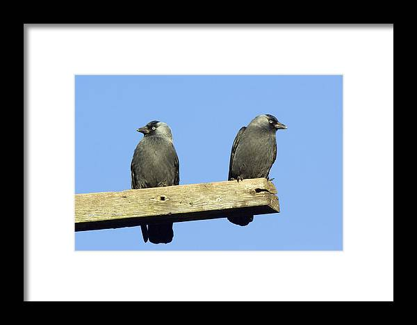 Jackdaws Framed Print featuring the photograph Two Jackdaws by Duncan Shaw