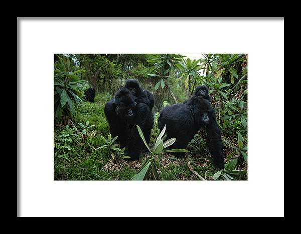 Wild Animals Framed Print featuring the photograph Two Mother Gorillas Carrying by Michael Nichols