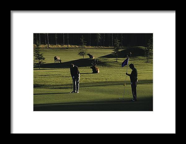 North America Framed Print featuring the photograph Two People Play Golf While Elk Graze by Raymond Gehman