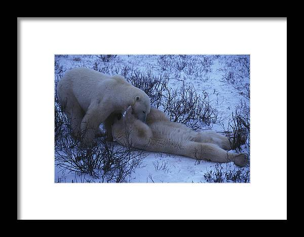 Color Image Framed Print featuring the photograph Two Polar Bears Wrestle In The Snow by Nick Norman