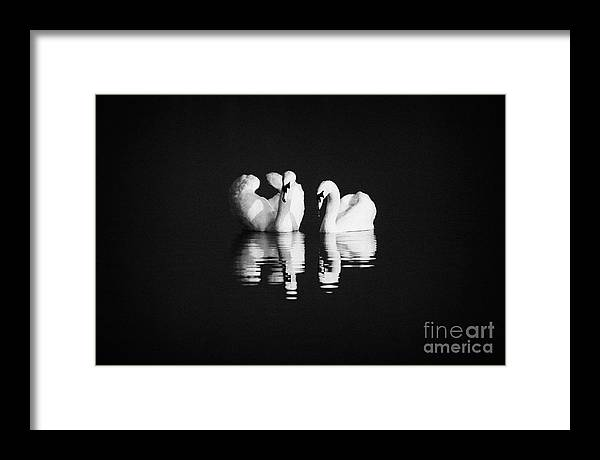 Northern Ireland Framed Print featuring the photograph Two Swans Swimming by Joe Fox