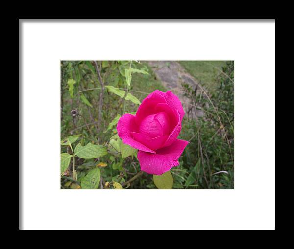 Rose Framed Print featuring the photograph Unfolding by Rani De Leeuw