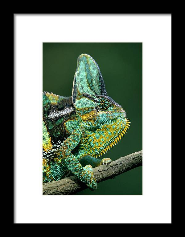Fn Framed Print featuring the photograph Veiled Chameleon Chamaeleo Calyptratus by Ingo Arndt