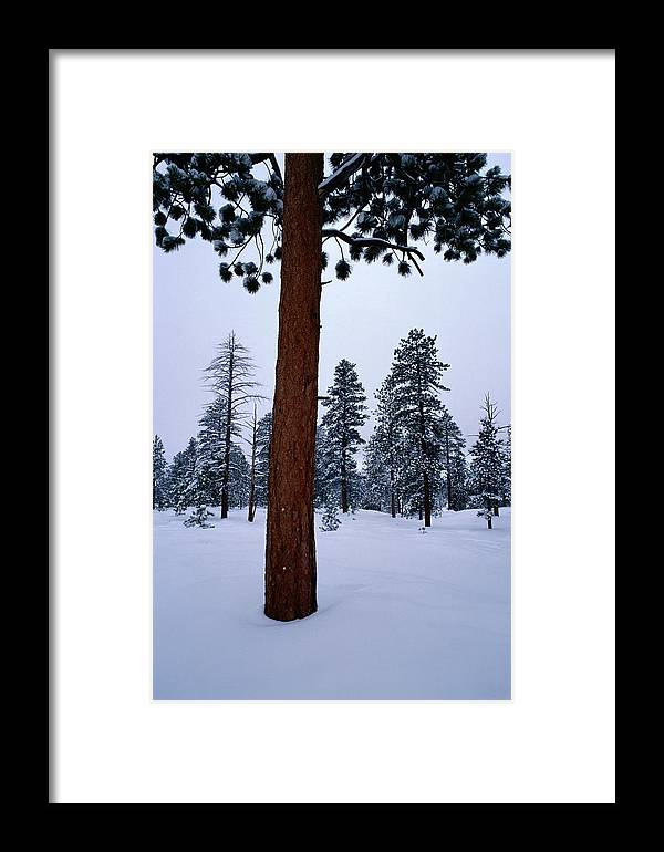 Ponderosa Pine Trees Framed Print featuring the photograph View Of A Ponderosa Pine Surrounded by Raymond Gehman