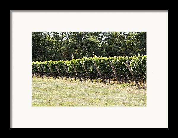 Vineyard Framed Print featuring the photograph Vineyards by Leslie Leda