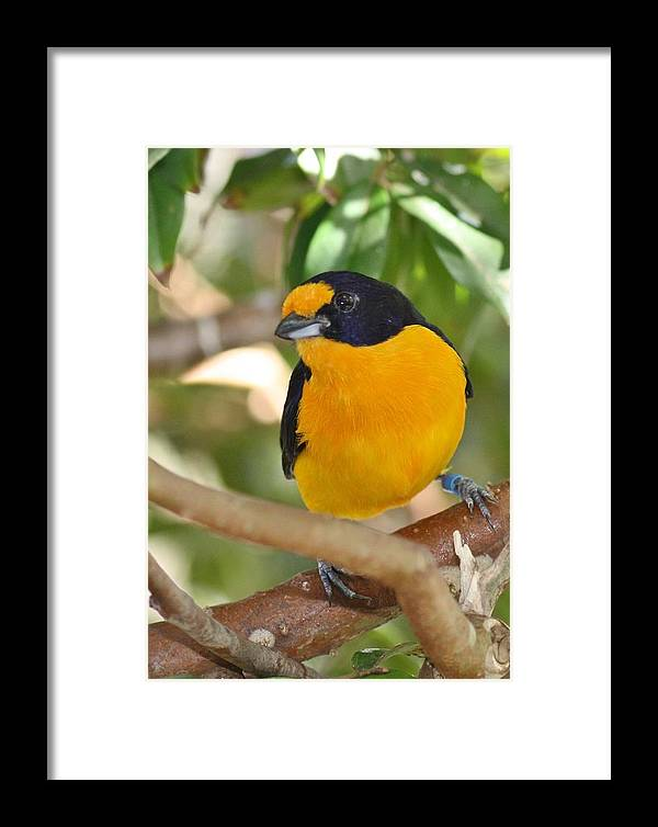 Finch Framed Print featuring the photograph Violet Euphonia by Andrea OConnell