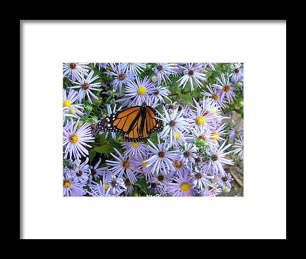 Butterfly Framed Print featuring the photograph Visiting The Daisies by Don Downer
