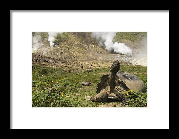Mp Framed Print featuring the photograph Volcan Alcedo Giant Tortoise Geochelone by Pete Oxford