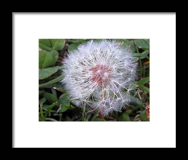 Dandelion Framed Print featuring the photograph Waiting Wishes by Susan Carella