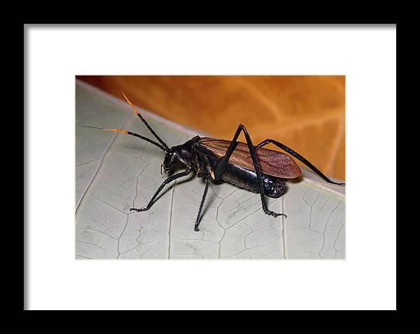 Aganacris Sp. Framed Print featuring the photograph Wasp Mimic Bush Cricket by Dr George Beccaloni