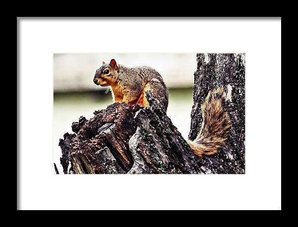 Squirrel Framed Print featuring the photograph Watchful Squirrel by KayeCee Spain