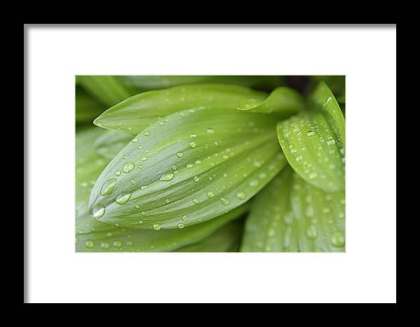 Waterdrops Framed Print featuring the photograph Water Drops On Green Leaf by Matthias Hauser