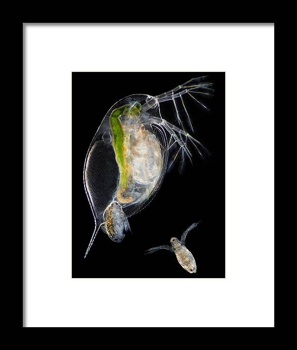 Daphnia Sp. Framed Print featuring the photograph Water Flea Giving Birth by Laguna Design