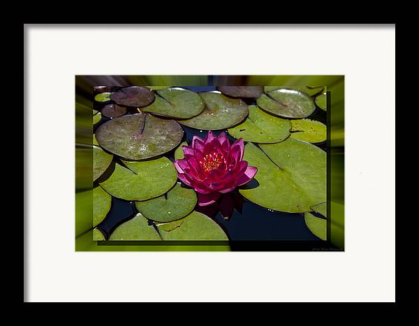 Water Lilly Framed Print featuring the photograph Water Lilly 4 by Charles Warren