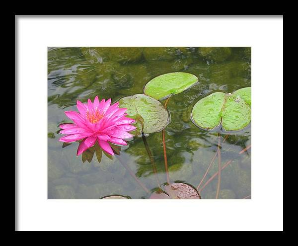 Water Lily Framed Print featuring the photograph Water Lily by Carol Bruno