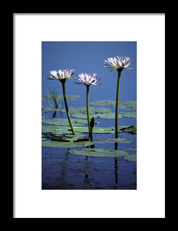 South Of Broome Western Australia Framed Print featuring the photograph Water Lily Flowers Bloom From A Wetland by Jason Edwards