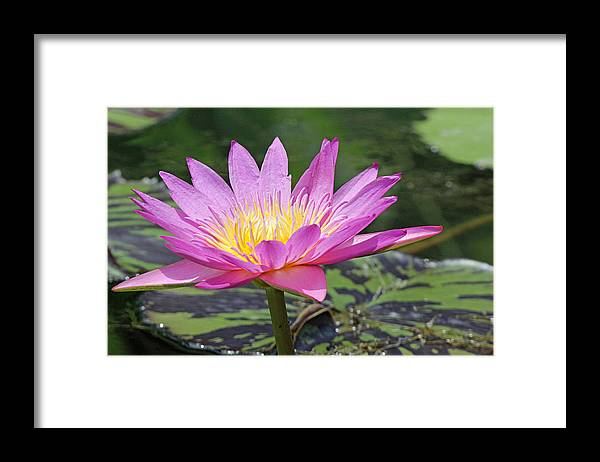 Becky Framed Print featuring the photograph Water Lily On A Sunny Day by Becky Lodes