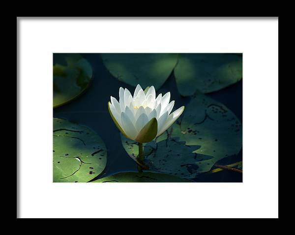 Water Lily Framed Print featuring the photograph Water Lily Reaching by Jessica Lowell
