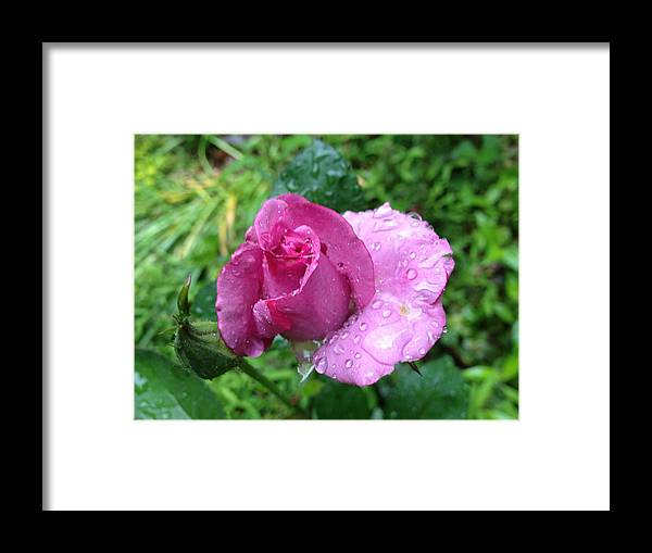 Rain Framed Print featuring the photograph Watered Beauty by Rebecca Thompson