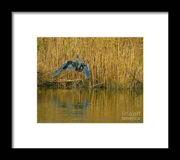 Great Blue Heron Framed Print featuring the photograph We have liftoff by Rrrose Pix