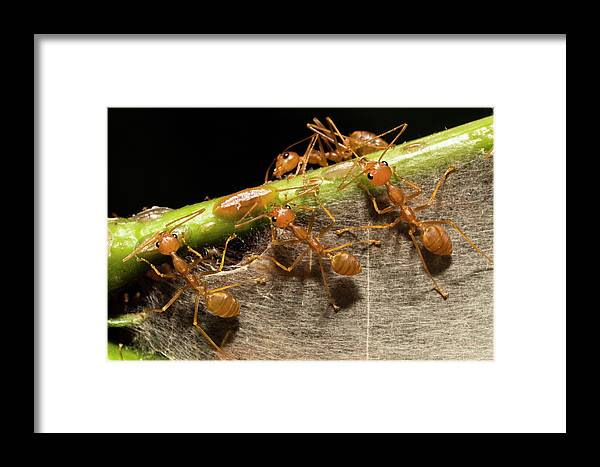 Mp Framed Print featuring the photograph Weaver Ant Oecophylla Longinoda Group by Konrad Wothe